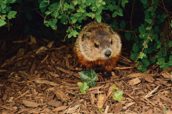 Happy Groundhog Day - Arwood Waste - (888) 413-5105 Toll Free – Dumpster, Residential Roll Off Dumpster, Front Load Equipment, Commercial Dumpster, Construction Dumpsters and Demolition – Free Quote